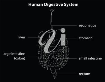 Illustration showing the human digestive system