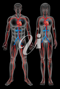 Circulatory system of a male and a female on a black background