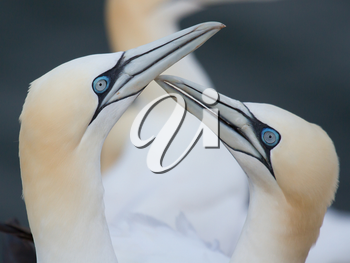 A loving couple of gannets on Helgoland