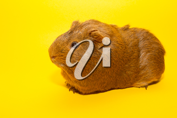 A guinea pig with a yellow background