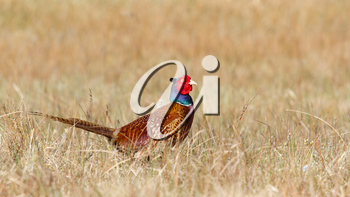 A common Pheasant in it's natural habitat