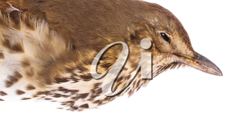 Dead song thrush on a white background