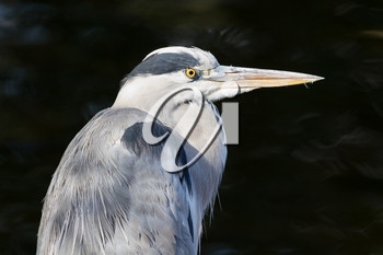 Great blue heron isolated on a white background