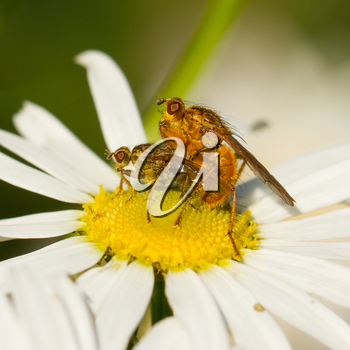 Two flies mating on a white flower