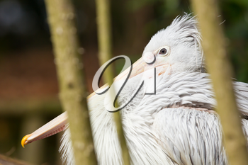 Pink-backed Pelican - Pelecanus rufescens in a dutch zoo
