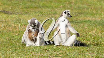 Ring-tailed lemur (Lemur catta) with youngsters on the grass