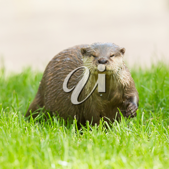 Wet otter is standing in the green grass, Holland
