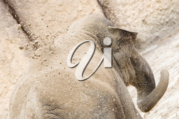 Young asian elephant (Elephas maximus) throwing sand on it's back, selective focus