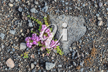 Plant growing on the black sand of Iceland
