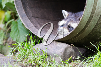 Adult racoon in a barrel, resting but still alert