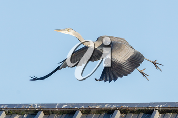 Great blue heron taking off from a roof, blue sky