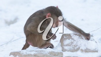 Macaque monkey searching food in it's natural habitat