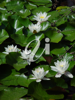 Pictures of Lily Ponds