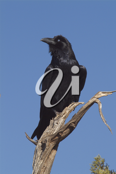 Stock Photography of a Raven or Crow