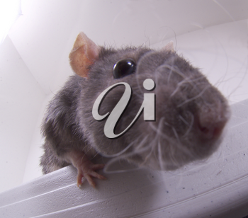 Stock Photo of a Nosey Rat