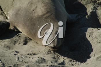 Stock Photography of an Elephant Seal Cow