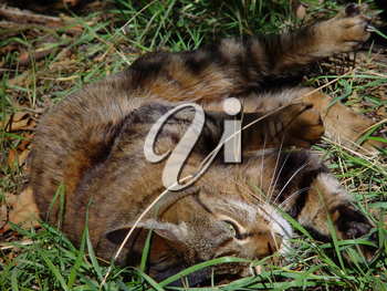 Stock Image: Tabby Cat Rolling in Grass