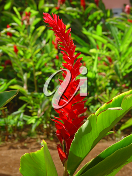 Stock Image of a Red Ginger Plant