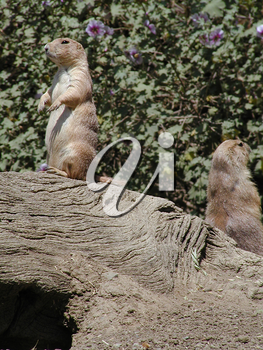 Photos of Prairie Dogs - Pictures and Photographs