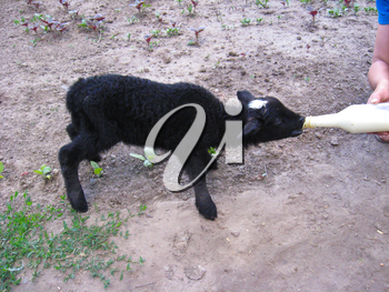 The image of lamb drinking milk from a bottle