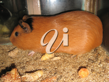the image of little beautiful brown guinea-pig