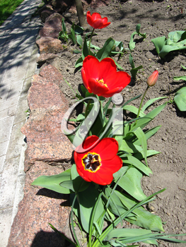 image of red tulips on the flower-bed