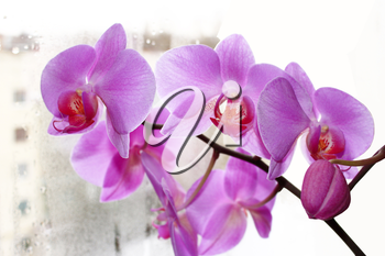 beautiful branch of the blossoming pink orchid at the window