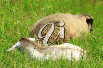 sheep and goat lays on the green grass of pasture