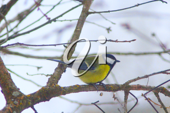 Great tit sits on the branch in cold winter