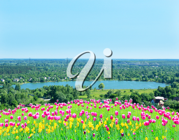 lilac tulips on the flower-bed on the background of village with lake
