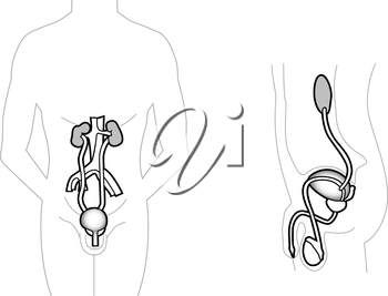 Detailed chart of the male urinary system