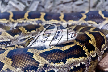 Photo of reticulated python head close up