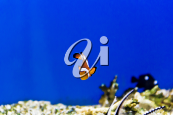 Horizontal photo of clown fish on aquarium bottom
