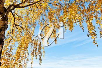 birch tree with yellow leaves in sunny autumn day with blue sky background