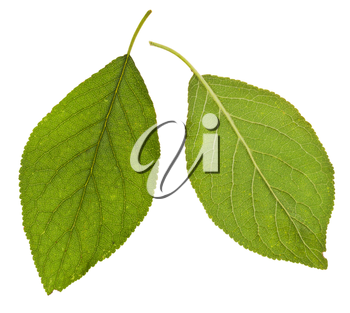 two sides of green leaves of plum tree isolated on white background