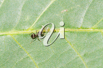 ant tending few aphids on leaf of walnut tree close up