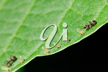 two ants grazing few aphids on leaf of walnut tree close up