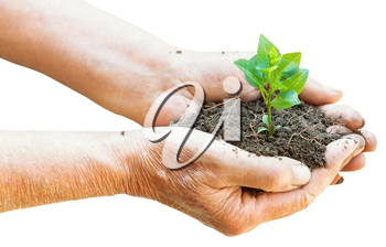 soil and green sprout in old man hands isolated on white background