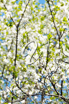 cherry twig and white blooming cherry tree crown in sunny spring day