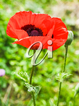 red poppy flower close up on meadow in summer day