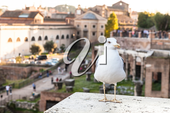 travel to Italy - urban gull and Roman Forums on background in Rome city