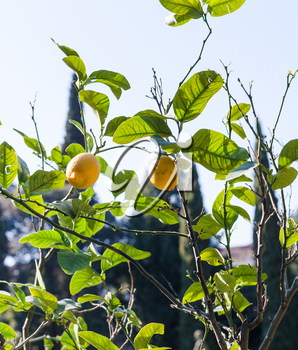 travel to Italy - fresh lemons on tree in Verona city in spring