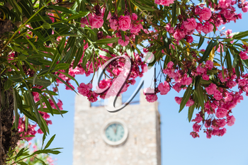 travel to Sicily, Italy - pink flowers of oleander and clock tower (Torre dell Orologio) on background at Piazza IX Aprile in Taormina city in summer day
