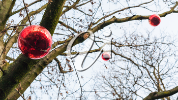 travel to France - red Xmas balls on bare tree in Alsace county in christmas season