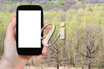 travel concept - tourist photographs green birch and oak trees in forest in Russia in early spring day on smartphone with cut out screen for advertising logo