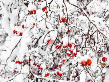 snow-covered hawthorn berries in forest of Timiryazevskiy park of Moscow city in overcast winter day