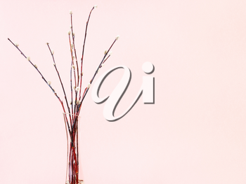 pussy willow sunday (palm sunday) feast concept - bundle of downy pussy-willow twigs in glass vase on pink pastel background with copyspace