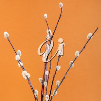 square pussy willow sunday (palm sunday) feast still-life - flowering pussy-willow twigs on orange brown pastel background