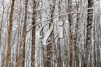 bare brown tree trunks in snowy forest of Timiryazevsky park in Moscow city on winter day