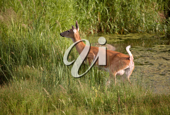 White-tailed Deer (Odocoileus virginiania) also known as the Virginia deer and in some places nicknamed the ?jumper? is a medium-sized deer found throughout the 48 contiguous states of the United Stat